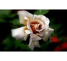 """Julia's Rose"" Photographic Print"