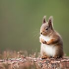 Red Squirrel by Adam Seward