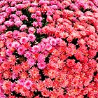 Pink Mums   ^ by ctheworld