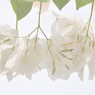 White Bougainvillea  by Cynthia Harris