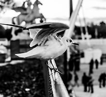 Seagull taking off in Jardin des Tuileries, Paris, France by Olivier Sohn