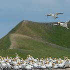 Gannet Colony by Werner Padarin