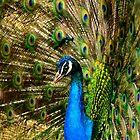 Peacock - Hello? by Christopher Hanke