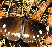 Male Australian Crow Butterfly by NaturalCultural