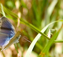 Common Grass Blue Butterfly - Wings Open by NaturalCultural