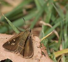Dingy Grass Skipper Butterfly by NaturalCultural