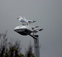 Seagulls by ejrphotography