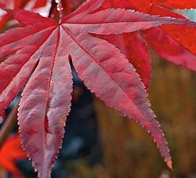 Japanese Maple Leaf by Cee Neuner