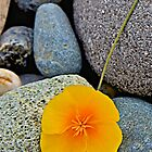 Poppy on the Rocks by John Butler