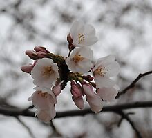 White Cherry Blossom In Full Bloom by Suleyman Anadol
