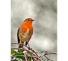 Robin on Ivy Photographic Print