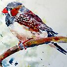 zebra finch by pamfox