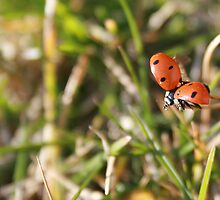 Ladybug Getting Ready to Fly by rhamm