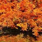Maple In Autumn by Ginger  Barritt