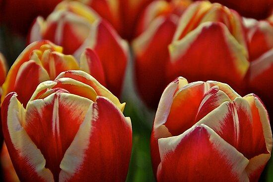 Red Tulips by Cee Neuner