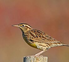 Meadowlark by photosbyjoe