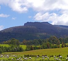 Sheep, Great Western Tiers, Tasmania, Australia by Margaret  Hyde