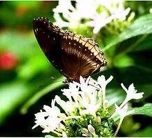 Butterfly- Brown  by Susan  Chakraborty