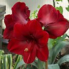 Christmas Red Amaryllis Flowers by Georgia Mizuleva