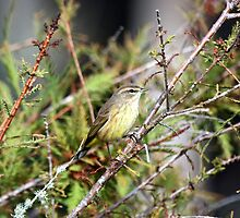 PALM WARBLER by TomBaumker