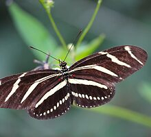Zebra Longwing Butterfly by LorriCrossno