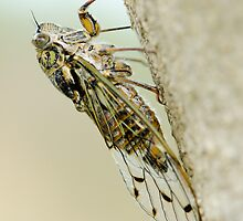 Cicada on Olive Tree by KFMPhotography