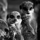Meerkat Manor. by igotmeacanon