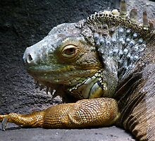 Common Iguana Relaxing by Margaret Saheed
