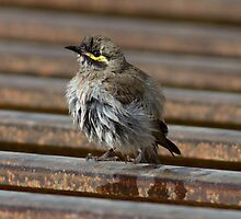 Yellow Faced  Honey Eater using Cattle Grid for bathing by Kym Bradley