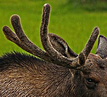 Moose Antlers In The Rain by AllisonDesign
