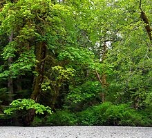 Cameron River Bigleaf Maples by Michael Russell
