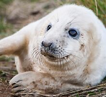 Grey Seal Pup by HKRDavid1