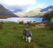 Herdwick at Wast Water by GeorgeOne
