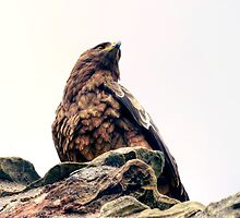 Tawny Eagle at Aberdour Castle by Miles Gray