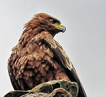 Tawny Eagle at Aberdour Castle, Fife. Scotland by Miles Gray