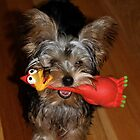 A Yorkie with Her Toy by Wendy Sinclair