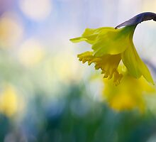 daffodil dreaming by sapaho