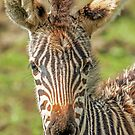 Young Zebra by Mark Hughes