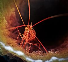 Peppermint Shrimp in Tube Sponge, Bonaire by jjkingan