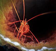 Peppermint Shrimp in Tube Sponge, Bonaire by jjkingan