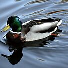 Male Mallard At Mangerton Mill, Dorset,UK by lynn carter