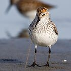 Noodles for Dinner -- Western Sandpiper by Tom Talbott