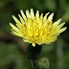 false dandelion by Floralynne