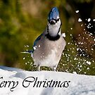 Blue Jay Christmas Card 1 by Michael Cummings
