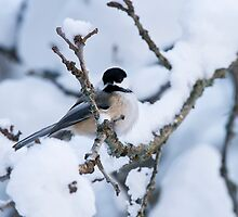 Chickadee Christmas Card 2 by Michael Cummings