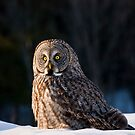 Great Gray Owl Christmas Card 13 by Michael Cummings