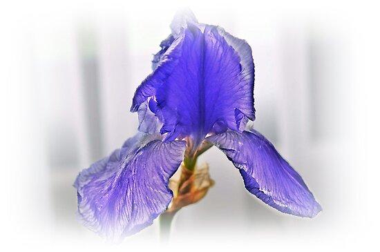 Lirio azul................... by cieloverde