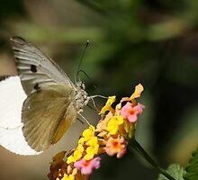 White Butterfly 8121 by João Castro