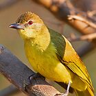 A Yellow Bellied Greenbul by jozi1
