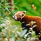 Cute Red Panda by PatiDesigns